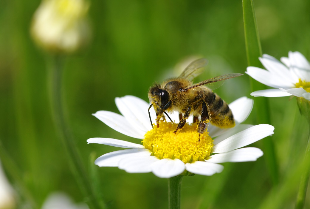 一見大人しく見えるミツバチも安全ではない